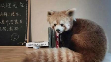 重庆一咖啡厅内疑饲养小熊猫 官方:林业局与公安局已介入调查
