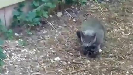 大猫抓住一只乌鸦,乌鸦立刻倒地装死,猫咪你可骗不了朕