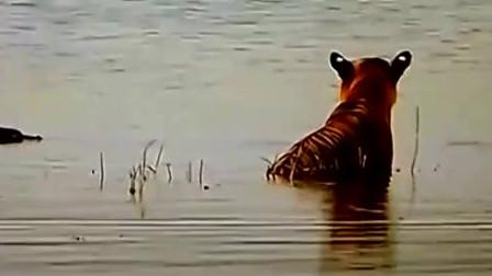 从鳄鱼看到老虎的表现,就知道百兽之王老虎究竟有多强了
