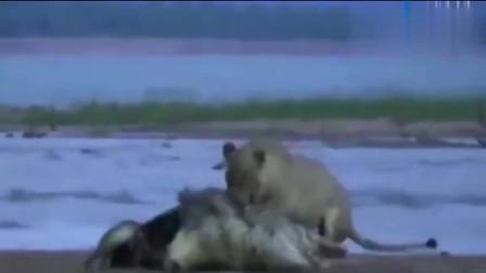 鳄鱼袭击狮子差点被爆头,真正的动物会战斗到死亡