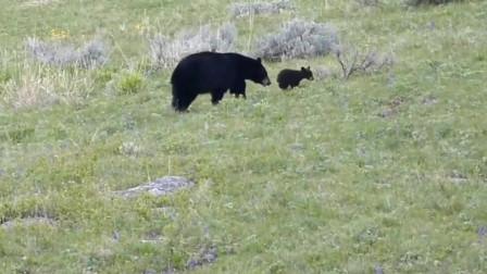 淘气的小黑熊总是在树上爬来爬去,在妈妈周边快速奔跑