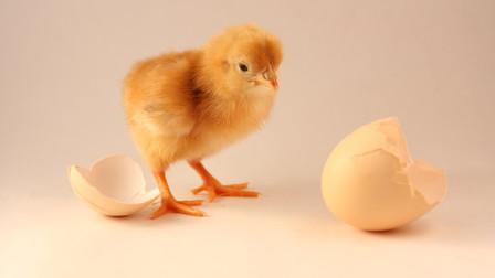 先有鸡还是先有蛋?让我国科学家来告诉你!快来解惑吧!