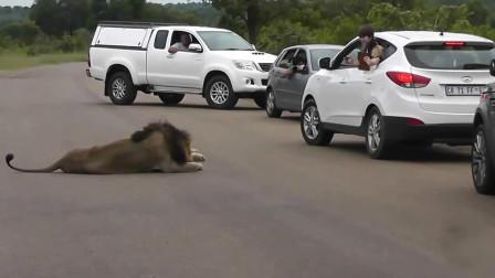 狮子张口咬住汽车尾部,司机一脚踩油门,意想不到的事情发生了