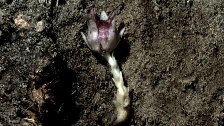 老汉上山,从土里挖出一朵奇花,回到家后才知价值高的吓人