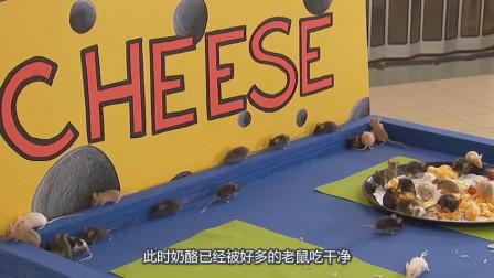 老鼠入侵!不到一分钟的时间一群老鼠将大奶酪吃干净,一群大胃王!