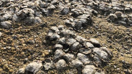 """小倪赶海发现礁石上长满海鲜""""帽贝藤壶海蛎子""""撬的小倪都不想回家"""