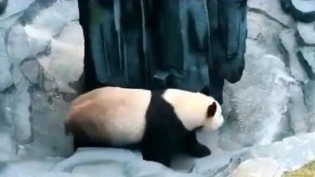 熊猫正在思考熊生,饲养员不打招呼直接放水,熊猫:看把劳资吓得