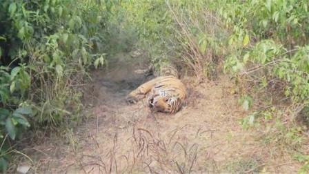 老虎趴在河边一动不动,老人走近查看后,眼泪差点掉下来!