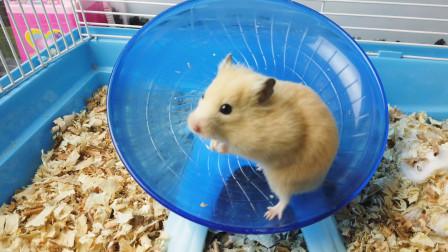 小仓鼠又肥又胖不爱运动,主人逼迫小仓鼠跑步,太搞笑了