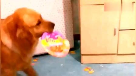 金毛惹主人生气吃不下饭,狗狗的反应真是让人哭笑不得