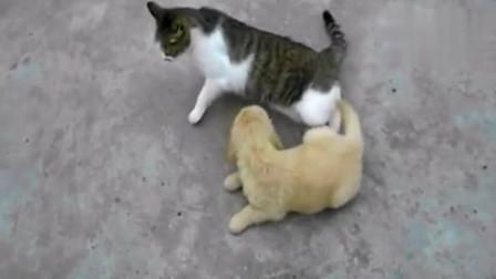 两只狗狗VS一只猫咪,打着打着狗狗就被队友给卖了