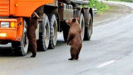 熊竟然拦车打劫!向司机讨要食物,镜头记录搞笑全过程!