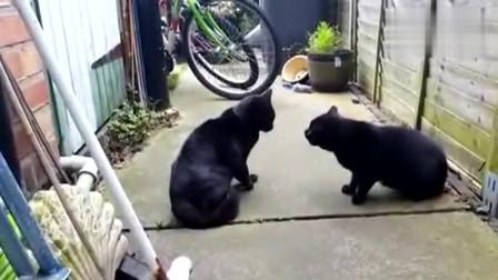 两只黑猫打架,只见两团黑影飘来飘去