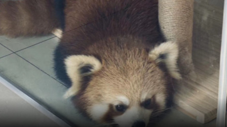 重庆咖啡店饲养小熊猫事件追踪:咖啡店已停业,店主要求得到公正待遇