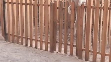 哈士奇跳过围栏想进家里吃狗粮,一听主人说过年吃狗肉,转身就跑