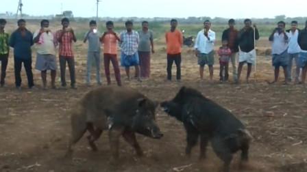 印度精彩的斗猪比赛没想到二师兄打架这么狠战斗力爆表