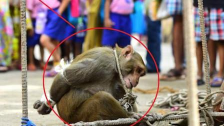印度猴子泛滥成灾,政府发大招:抓一只奖励50元!