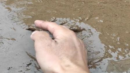 农村小伙在河沟里排水抓鱼,结果发现泥巴里有动静,挖开一看是大老鳖!