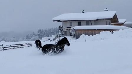 马儿们在厚厚的雪地撒欢,一个个的都超级开心呀