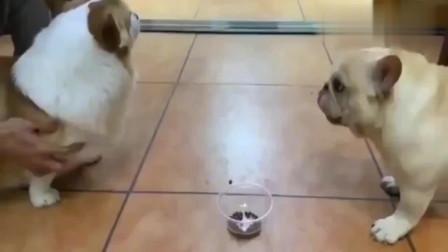 斗牛犬真是怂货,柯基没吃就叫个不停,吃了它倒是安静了