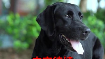 拉布拉多千辛万苦,只为报答恩人,这样的狗狗看哭了