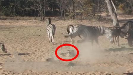 野猪正在吃食,突然倒地身亡,镜头放慢6倍才看清元凶是谁!