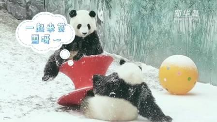尽情撒欢儿! 来鄂尔多斯看大熊猫姐妹花