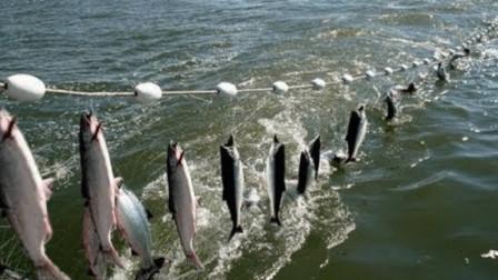 大海捞鱼,满网都是金枪鱼,满满一船,收入颇丰!