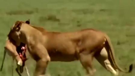 为了一只羚羊,豹子雌狮雄狮展开激烈争夺战