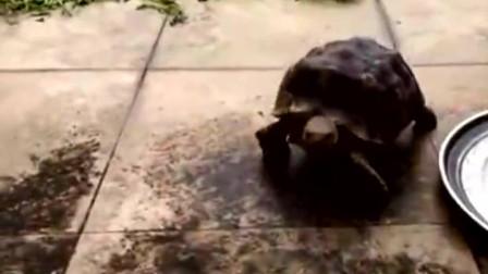 乌龟看见主人来了,飞快爬过来在手上磨蹭这是汪星人养大的吧