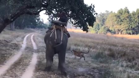 印度男子骑着大象,突然阵阵虎啸,一头孟加拉虎猛蹿而出!