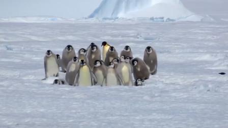 抱团取暖的企鹅最外层不会被冻死吗?原来它们都是互帮互助的