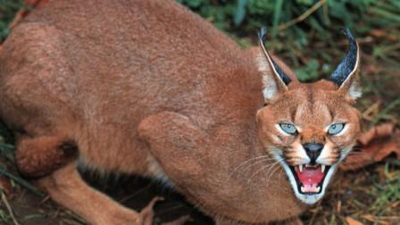 全球最凶猛的猫,耳朵自带天线,你敢养吗?