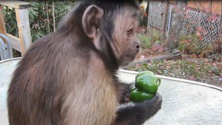 游客丢给猴子一个辣椒,猴子咬一口后当场发疯,镜头记录全过程