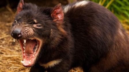 """全球最狠的动物,被国外人称为""""魔鬼"""",经常会自毁身体"""