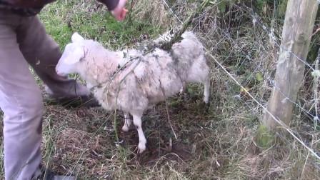 这种植物能捕捉山羊,困住山羊后慢慢蚕食,村民一旦发现马上烧毁