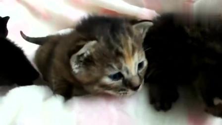 这奇怪的猫叫声,是哪只猫咪发出来的