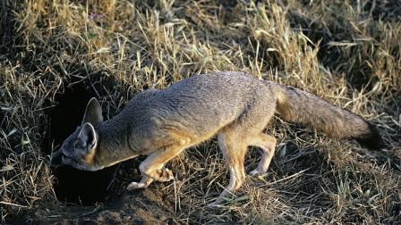 """为什么狐狸喜欢在坟墓里做洞穴,难道真""""成精""""了?看完涨知识了"""