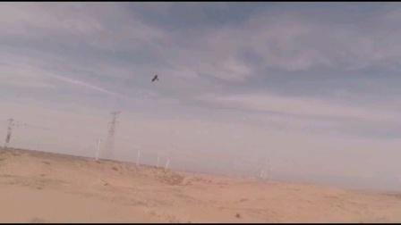 沙漠飞鹰-焦作大海放飞银川