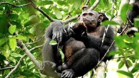 乌龟的天敌竟然是黑猩猩,落到了它们的手里,无路可逃了!