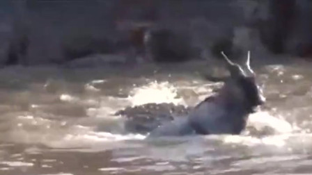 实拍鳄鱼突袭上岸的角马,角马疯狂挣扎,没想到下场会是这样
