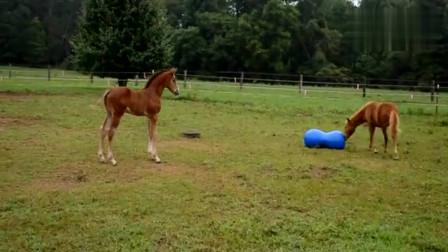 玩嗨了的小马驹,这货是想练瑜伽吗