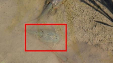 """老农在水沟发现""""三眼恐龙虾"""",捞上来一看,吓得腿脚直哆嗦"""
