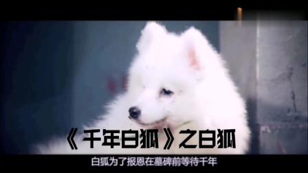 《千年白狐》之白狐,思思完整版白狐