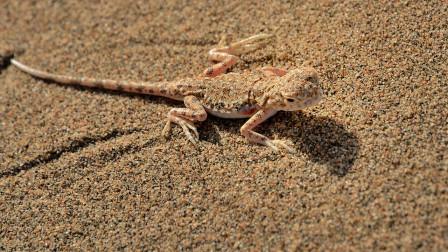 沙漠蜥蜴捕食蚱蜢,好一顿大餐,估计很久都不用找食了!