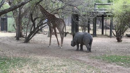 """犀牛挑衅长颈鹿,只听见""""啪""""的一声,长颈鹿对犀牛脑袋就是一脚"""