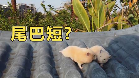 宠物知识:小仓鼠的尾巴为什么那么短,不注意还以为仓鼠没有尾巴