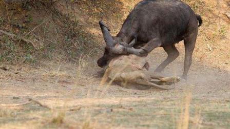 水牛竟然杀死雄狮?这打斗过程太精彩了,狮子死得很有尊严!
