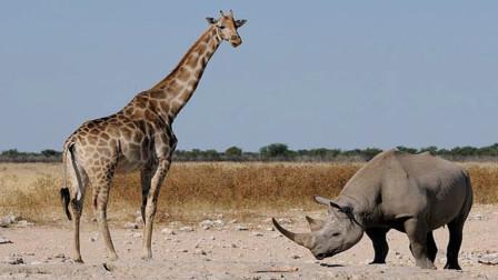 """犀牛作死挑衅长颈鹿,只听""""啪""""的一声,下一秒请忍住别笑"""