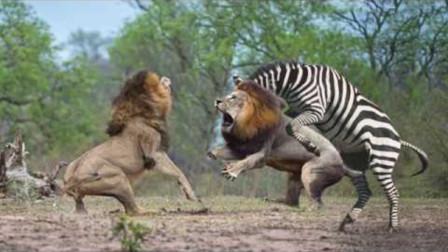斑马母子被狮群包围,不料斑马妈妈丝毫不怂,揍得狮子落花流水
